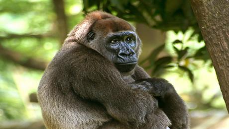 African gorilla in Nigerian forest