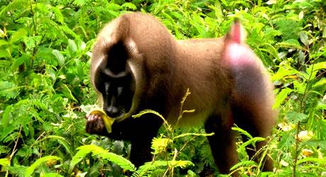 cross river national park drill monkey