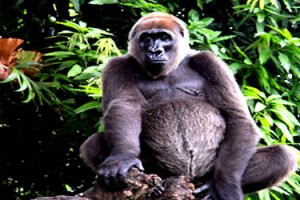 Cross River Gorilla at Afi Mountain