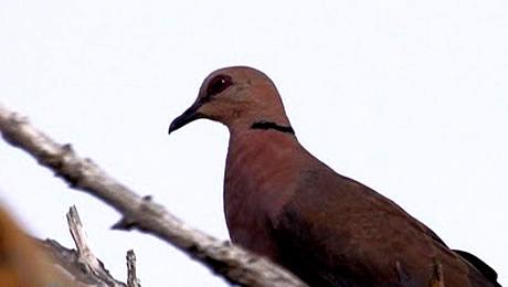 Red-eyed Dove at Lekki Conservation Centre