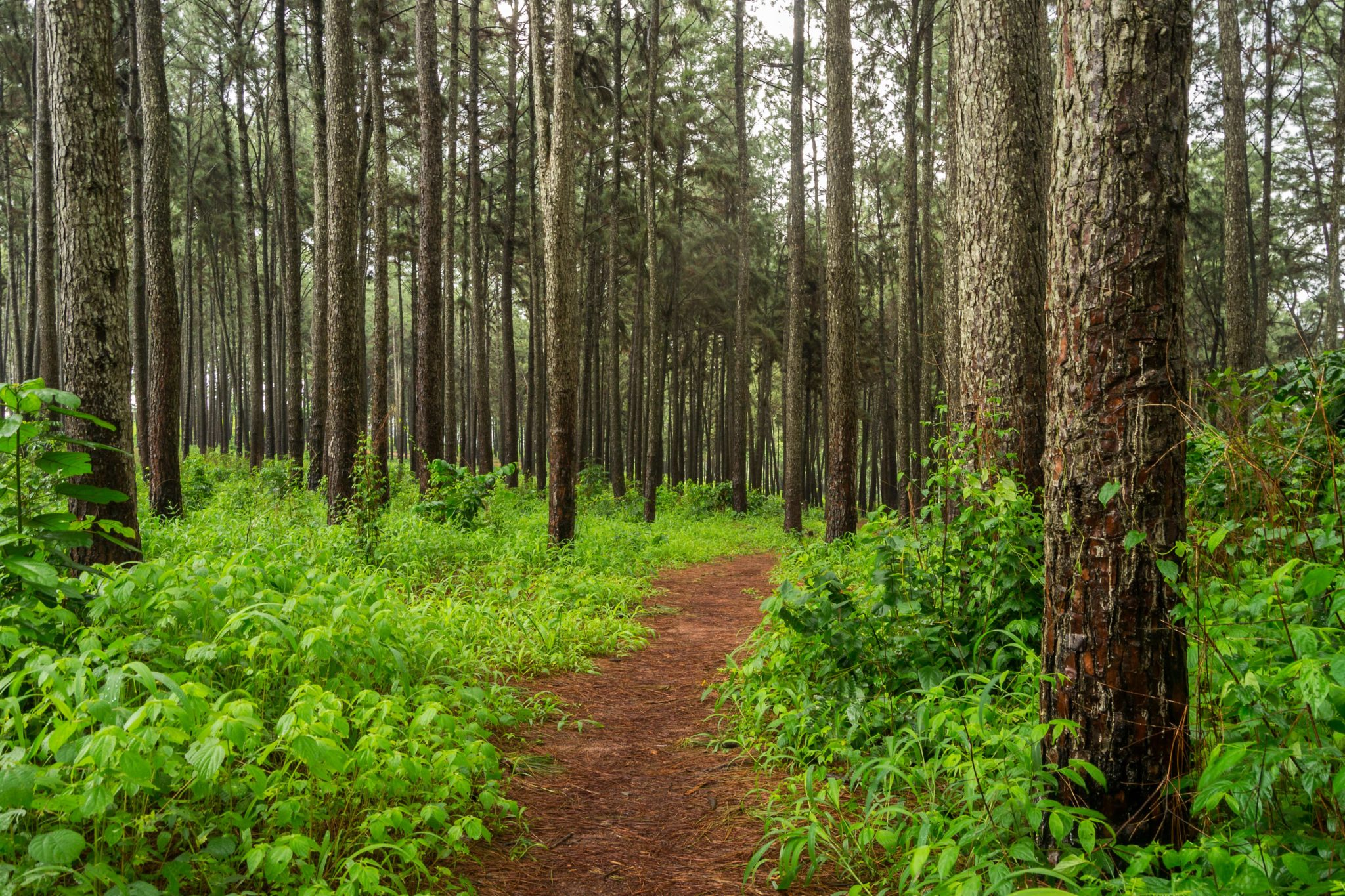 Photo of Ngwo Pine Forest